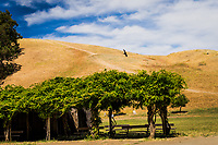 Between earth and sky a Turkey vulture glides by on a summer afternoon at Garin Regional Park in the hills east of San Francisco Bay, California.