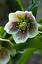 Hellebore or Lenten rose (Helleborus orientalis 'White Spotted Lady'), late March.