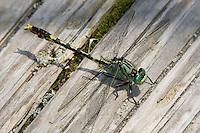 Unicorn Clubtail (Arigomphus villosipes) Dragonfly - Male, Ward Pound Ridge Reservation, Cross River, New York