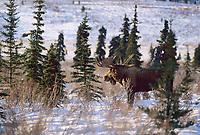 Bull moose, boreal forest, rutting season, Denali National Park, Alaska