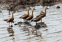 Stock photo: Cute lesser whistling ducks standing in marsh water of Khijadiya Bird Sanctuary, Gujarat India. Image is available for Editorial/Non-commercial Use Only.<br /> <br /> The Khijadiya Bird Sanctuary is a must visit place in Gujarat, India for birdwatchers and nature students alike. <br /> <br /> It's a one of a kind wonder of ecology and warmly provides a safe haven for about 300 Migratory birds every year.