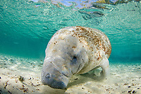 West Indian manatee or Florida manatee, Trichechus manatus latirostris, Three Sisters Spring, Crystal River, Florida, USA
