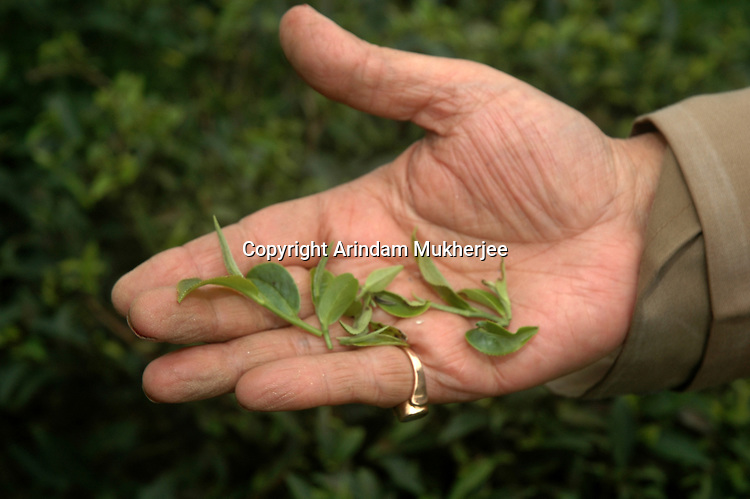 A hand showing fresly plucked tea leaves.