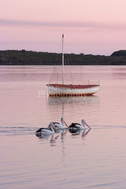 Day 9 pelicans slowly glide past boat at Pelican Lagoon South Australia on Kangaroo island.
