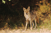 Coyote, Canis latrans, adult, Starr County, Rio Grande Valley, Texas, USA, May 2002
