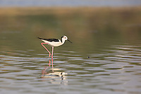 Black-Winged Stilt wading on the Chambal River in Rajasthan