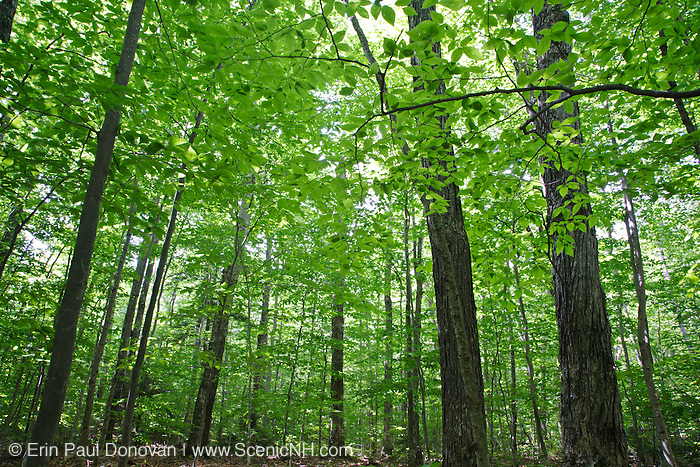 Canopy of hardwood forest during the summer months along the Swift River near Deer Brook in Albany, New Hampshire USA. Maple and beech are the dominate trees. This is section 12 of the proposed Northeast Swift Project.