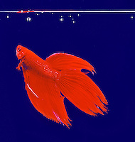 Fighting fish, beta.