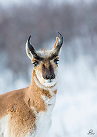 We were basically the only humans hanging out in the park - probably because it was -10F with heavy snow. Once the Pronghorn confirmed that we weren't going to harm them, they went about their business: survival in their extreme environment. Here a young male Pronghorn checks us out quickly before moving on to join his herd of about 30 males and females. Custer State Park, The Black Hills, South Dakota.