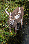 White-tailed Deer buck standing in aquatic vegetation near edge of pond.  Velvet is seen hanging from antlers during the beginning of breeding season, vertical