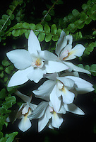 Caulaelia Snowflake 'Northland', AM/AOS is a hybrid of Caularthron bicornutum x Laelia albida aka Dialaelia Snowflake 'Northland', orchid hybrid, with fern