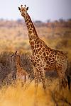 Giraffe with calf, South Africa