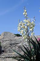 Blume in der Gallura, Provinz Olbia-Tempio, Nord Sardinien, Italien