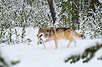Wild Yellowstone Gray Wolf (Canis lupus) trotting through snow flocked forest.  Yellowstone National Park.