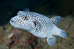 Cocos Island, Costa Rica; a Guineafowl Puffer (Arothron meleagris) fish swimming over the rocky reef