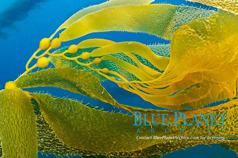 Apical end of kelp. Macrocystis pyrifera, Santa Cruz Island, CA, Pacific Ocean