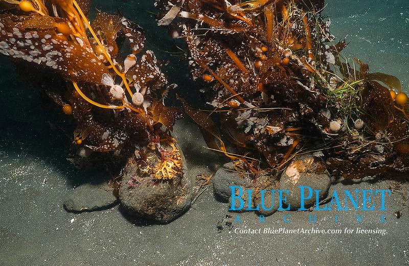 Giant brown kelp, Macrocystis pyrifera, growing on small rocks, Anacapa Island, Channel Islands, California, USA, Pacific Ocean