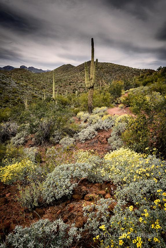 Brittlebrush blooming among Saguaro cacti in the Sonoran desert north of Phoenix, Arizona.