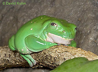 "1217-07pp  Mexican Dumpy Frog - Padaymedusa dacnicolor ""Mexico"" - © David Kuhn/Dwight Kuhn Photography."