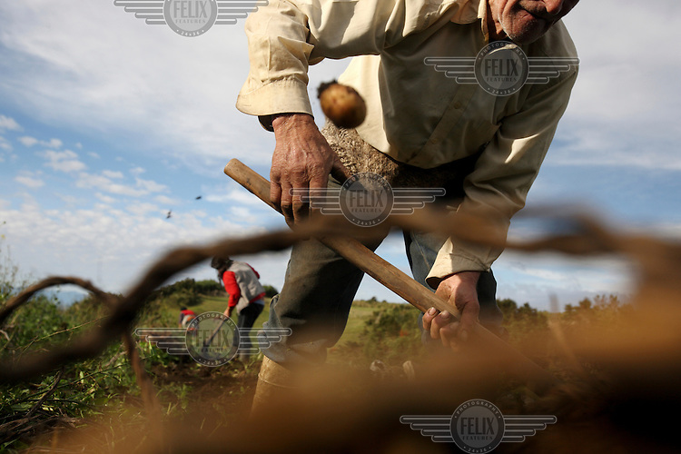 An elderly man harvests potatoes on the island of Teuquelin. This lies off the coast of a larger island called Chiloe that is itself off southern Chile. The only inhabitants of Teuquelin are the Peranchiguay family whose descendants arrived there two hundred years ago. Now only a few elderly people, women and children live there. The men and youth have all left in search of work. Those left behind make a living by harvesting Luga, an algae that is used in the production of shampoo and nappies.