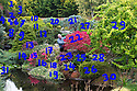 27/10/16<br /> <br /> You'd be forgiven for thinking that after more than 50 years running a garden nursery, 67-year-old John Massey would be enjoying the peace and tranquillity of retirement.<br /> <br /> But not a bit of it, if anything this keen plantsman is now busier than ever, caring for his own three-acre garden, a beautiful 'all seasons' oasis set in the heart of industrial Birmingham.<br /> <br /> Full story: https://fstoppressblog.wordpress.com/birmingham-garden-in-stunning-autumn-colour/<br /> <br /> 1 Carpinus betulus 'Fastigiata'<br /> 2 Berberis thunbergii 'Helmond Pillar'<br /> 3 Pinus thunbergii 'Kotobuki'<br /> 4 Abies koreana 'Oberon'<br /> 5 Rhododendron yakushimanum<br /> 6 Acer palmatum 'Orangeola'<br /> 7 Pinus pumila 'Blue Dwarf'<br /> 8 Hedera helix 'Conglomerata'<br /> 9 Abies nordmanniana 'Golden Spreader'<br /> 10 Pinus mugo 'Carsten'<br /> 11  Pinus mugo 'Ophir' <br /> 12 Picea abies 'Acrocona'<br /> 13 Acer palmatum dissectum 'Garnet'<br /> 14 Podocarpus lawrencei 'Red Tip'<br /> 15 Euonymus alatus 'Rudy Haag'<br /> 16 Abies cephalonica 'Nana'<br /> 17 Berberis sieboldii<br /> 18 Chamaecyparis  pisifera<br /> 19 Hedera helix 'Variegata'<br /> 20 Pinus sylvestris 'Chantry Blue'<br /> 21 Abies concolor 'Violacea'<br /> 22 Euonymus alatus 'Fire Ball'<br /> 23 Acer palmatum 'Oregon Sunset'<br /> 24 and 28 Hebe albicans 'Pink Elephant'<br /> 26 Taxus baccata 'Adpressa Aurea' <br /> 27 Sciadopitys verticillata<br /> 29 Sophora japonica 'Dot'<br /> 30 Carex testacea<br /> <br /> MORE…<br /> <br /> All Rights Reserved: F Stop Press Ltd. +44(0)1773 550665 www.fstoppress.com
