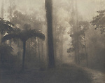 Foggy forest and fern<br /> Cyanotype + Coffee toning