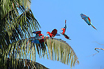Red-and-Green Macaws (Ara chloropterus) in palm trees close to a clay lick (Blanquillo) in early morning light. Manu Biosphere Reserve, Amazonia, Peru.