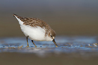 Adult Western Sandpiper (Calidris mauri) foraging on barrier island tidal flats. Terrebonne Parish, Louisiana. October.