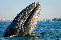 California gray whale, Eschrichtius robustus, spy-hopping near the town of Puerto Lopez Mateos, BCS along the Pacific side of the Baja Penninsula. Pacific Ocean