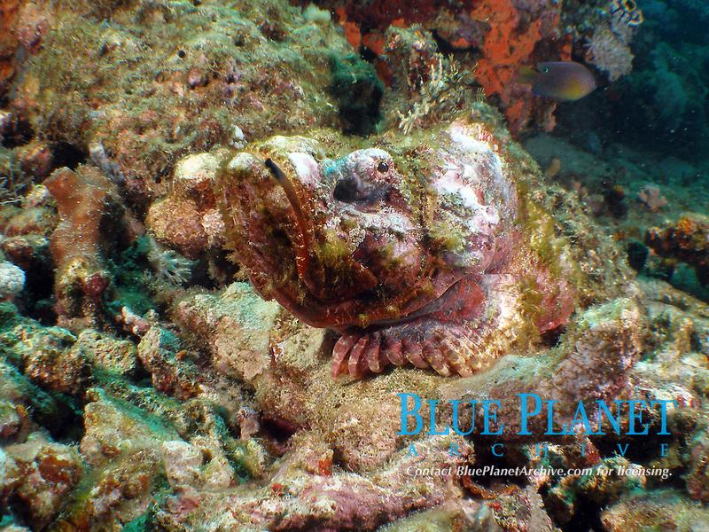 devil scorpionfish, Philippines, Batangas, Scorpaenopsis diabolus