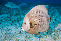 gray angelfish, Pomacanthus arcuatus, Bahamas, Caribbean Sea, Atlantic Ocean