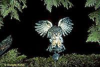 OW08-020z  Saw-whet owl - flying to catch prey mouse- Aegolius acadicus