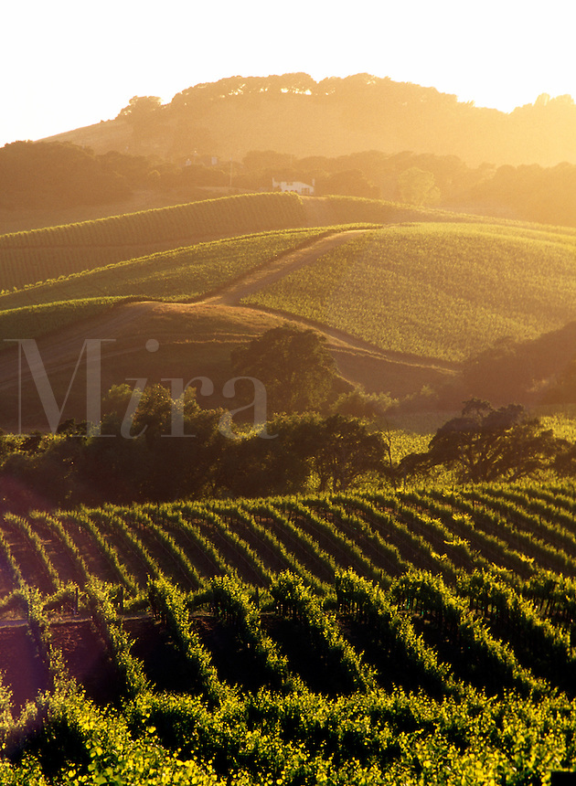 USA, California, Napa Valley, grape vineyards
