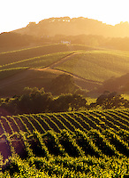USA, California, Napa Valley, grape vineyards