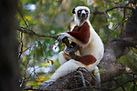 Adult Coquerel's sifaka (Propithecus coquereli) resting in forest canopy, Anjajavy dry deciduous forest, north west Madagascar.