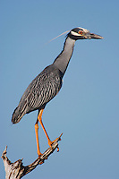 Yellow-crowned Night-Heron, Nyctanassa violacea, adult perched, Willacy County, Rio Grande Valley, Texas, USA, June 2006