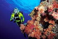 a scuba diver explores a multi-hued soft coral garden, Fiji, Pacific Ocean