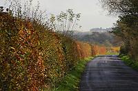 Beech hedge in autumn leaf, Bleasdale, Lancashire.