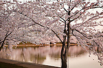 Cherry Blossoms at the Tidal Basin in Washington, DC, USA