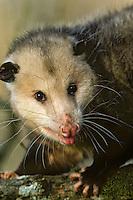 American Opossum (Didelphis virginiana)