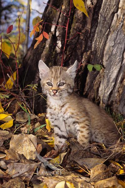 Young bobcat kitten.  Western U.S., fall.