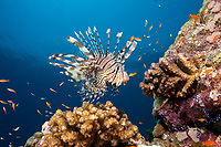 common lionfish, or devil firefish, Pterois miles, Sha'ab Rumi reef, Sudan, Red Sea, Indian Ocean