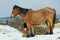 Wild horse mare with half grown colt in winter.  Western U.S., winter..(Equus caballus)