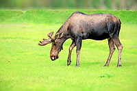 Moose (Alces alces), adult, male, Alaska Wildlife Conservation Center, Anchorage, Alaska, United States, North America
