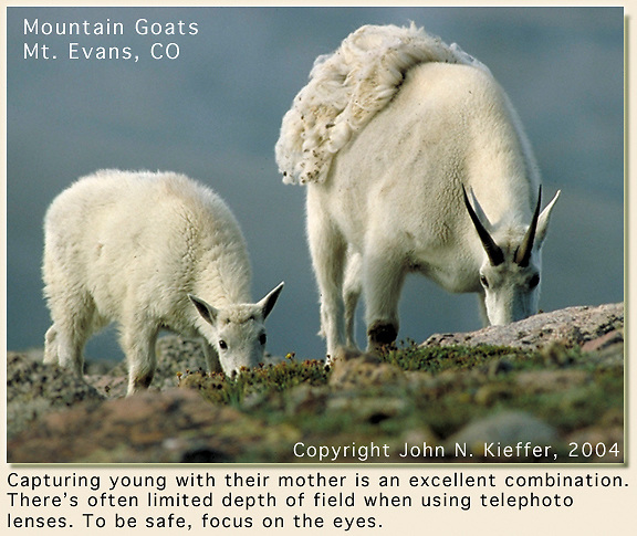 Mountain goats atop Mt Evans, Colorado. Wildlife  photo tours to Mt Evans. John leads private, photo tours throughout Colorado, including Denver and Boulder.