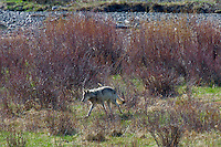 Wild Yellowstone gray wolf (Canis lupus) running thru willows.  Yellowstone National Park, Wyoming.  Late spring.