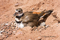 0510-1121  Killdeer, Adult Sitting on Eggs, Charadrius vociferus  © David Kuhn/Dwight Kuhn Photography