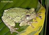 "0916-07yy  Gray Tree Frog - Hyla versicolor ""Virginia"" © David Kuhn/Dwight Kuhn Photography"