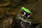 Marojejy Green-backed Mantella Frog (Mantella manery) on rock in lowland rainforest stream. Marojejy National Park, north east Madagascar.