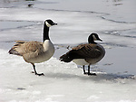 Canada Geese First Day Back in Spring New England, USA